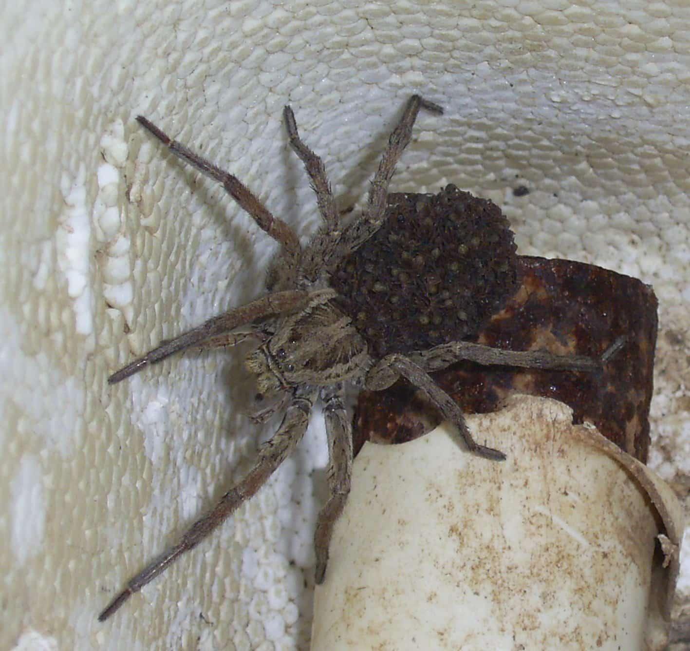 Faites attention à la piqure d'araignée