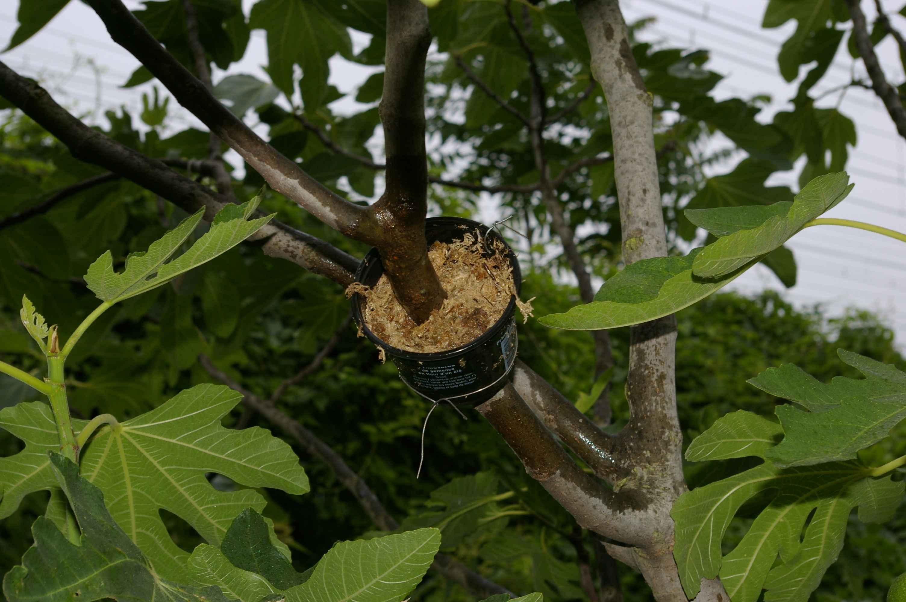 Taille figuier on vous en parle dans cet article - Comment couper un arbre a la tronconneuse ...